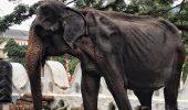 Anunț trist referitor la femela elefant înfometată și obligată să participe la spectacole!