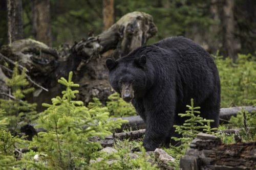 un urs