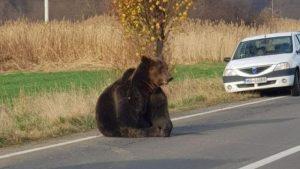 Bătaie de joc în cazul ursului lovit de o mașină. MAI a luat o decizie radicală