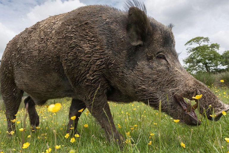 Porc mistreț