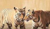 Cât a alergat un tigru ca sa își găsească IUBITĂ