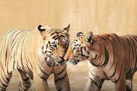 C[t a alergat un tigru dup[ pereche