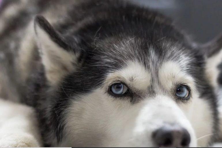 unui câine