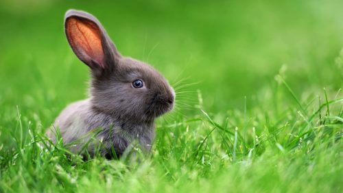 Reguli de comportament dacă ai un iepure