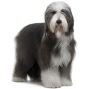 Bearded Collie / Beardie, Highland Collie, Mountain Scotch collie