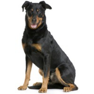 Beauceron / Berger de Beauce