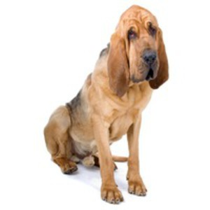 Bloodhound / Chien de Saint Hubert