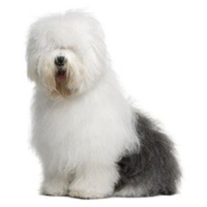 Bobtail / Old english sheepdog