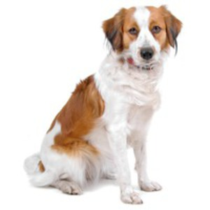 Cainele de vanatoare de rate olandez / Kooikerhondje, Cainele kooiker, Dutch Decoy Spaniel, Dutch Decoy Dog
