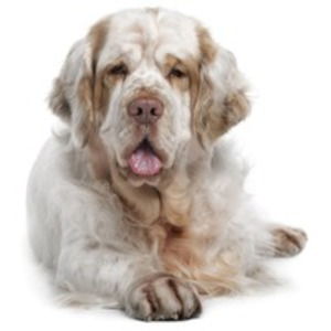 Clumber Spaniel / Epagneul Clumber