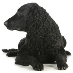 Curly Coated Retriever / Retriever cu blana carliontata