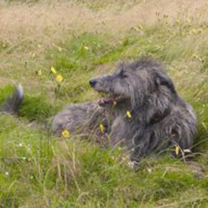 Deerhound / Cainele regal al Scotiei, Deerhound scotian