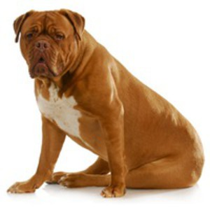 Dog de Bordeaux / Mastiff Francez