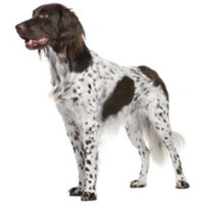 Munsterlander pitic / Heidewachtel, Kleiner Munsterlander Varstehhund, Pointer Munsterlander pitic, Brac mic de Munsterlander, Spion