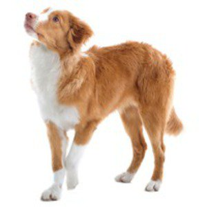 Nova Scotia Duck-Tolling Retriever / Toller, Little River Duck Dog, Yarmouth Toller, duck Toller