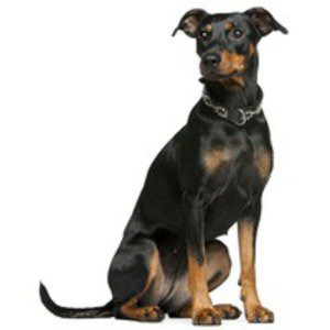 Pinscher german