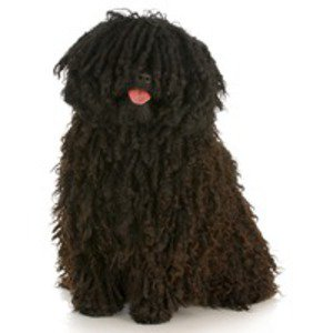 Puli / Hungarian Water Dog