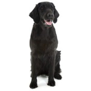 Retriever cu blana neteda / Flat Coated Retriever