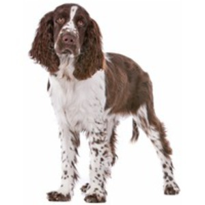 Springer Spaniel englez / Springer, English Springer Spaniel