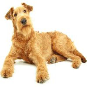 Terrier irlandez / Irish Terrier