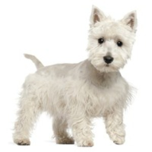 West highland White Terrier / Poltalloch terrier, Roseneath Terrier